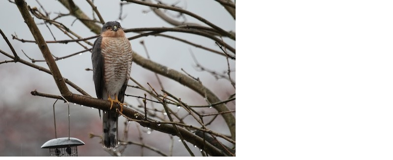 Sparrowhawks can be seen overhead from virtually every urban house in UK. Photo: Alexander Lees