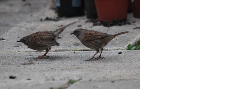 the lockdown gives us chance to study the intimate behaviour of common garden birds like the Dunnock. Photo: Alexander Lees