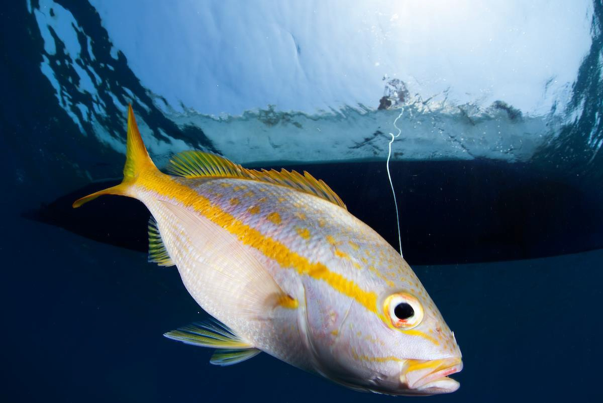 A fisher from the Utila Cays small-scale fishery in Honduras hooks a yellowtail snapper (Ocyurus chrysurus). Credit: International League of Conservation Photographers/Claudio Contreras-Koob