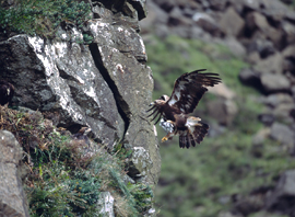 Image for Golden Eagle numbers in decline