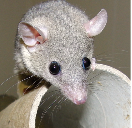 Image of a whiskered Opossum